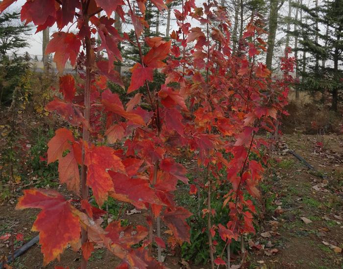 青岛红枫枫红园林基地实拍秋色